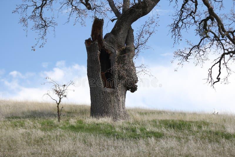 duży mały drzewo obrazy royalty free