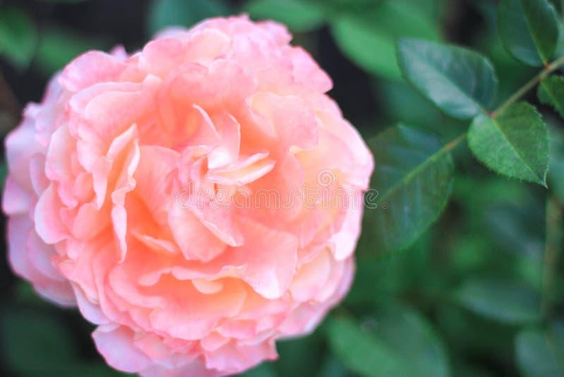 Duży menchii róży dorośnięcie w ogródzie pod słońcem, fotografia royalty free