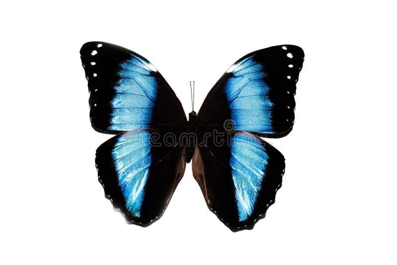 Duży motyl z błękitów skrzydłami, odizolowywa na białym tle, morpho Achilles zdjęcie royalty free