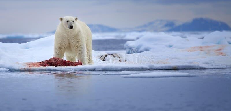 Duży niedźwiedź polarny obrazy royalty free