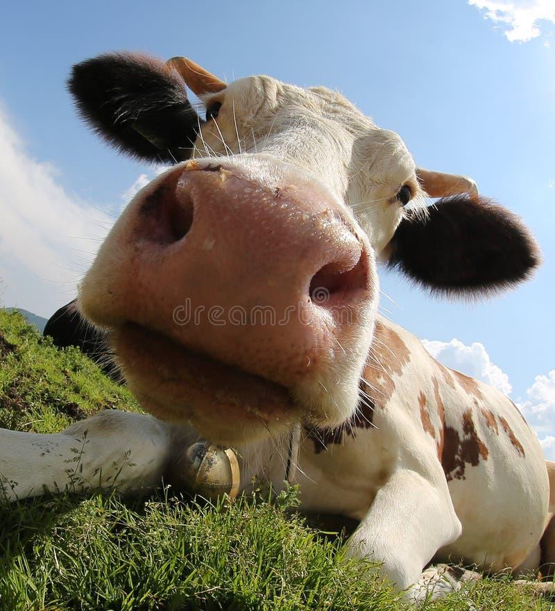 Duży nos krowa obrazy stock