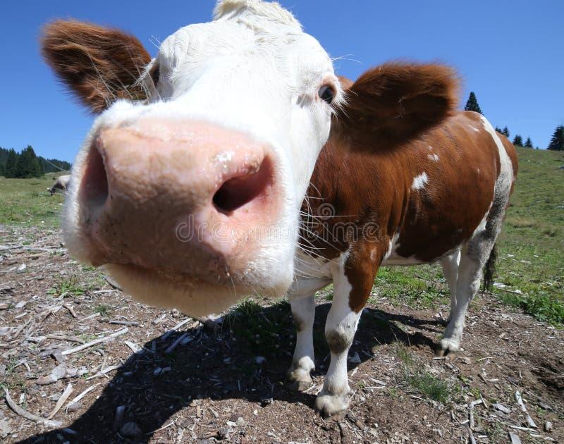 Duży nos krowy pasanie w górach fotografia royalty free