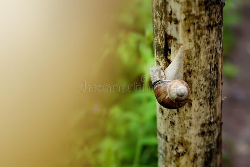 Duży ogrodowy ślimaczek na mokrej drewnianej teksturze obraz stock