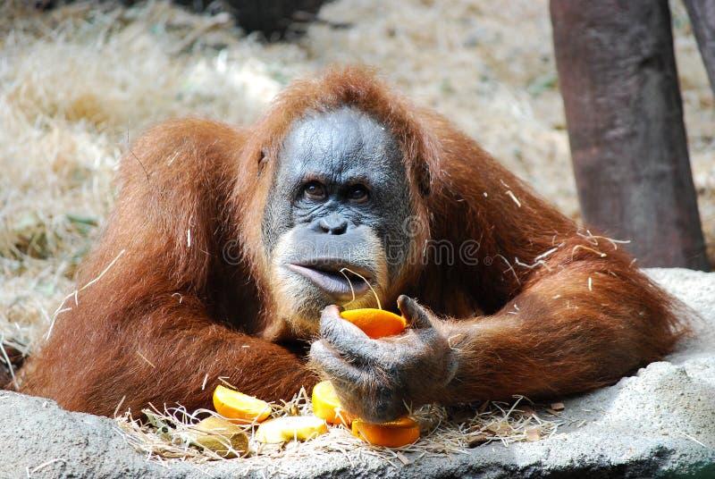 Duży orangutan fotografia royalty free