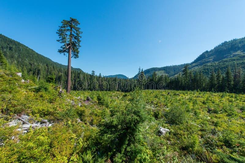 Duży Osamotniony Doug, Douglas Jedlinowy drzewo - obrazy stock