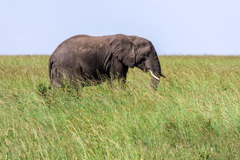 Duży osamotniony słoń w trawie na sawannie w Serengeti zdjęcia stock