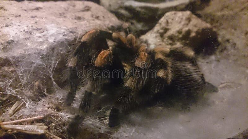 Duży pająk obrazy stock