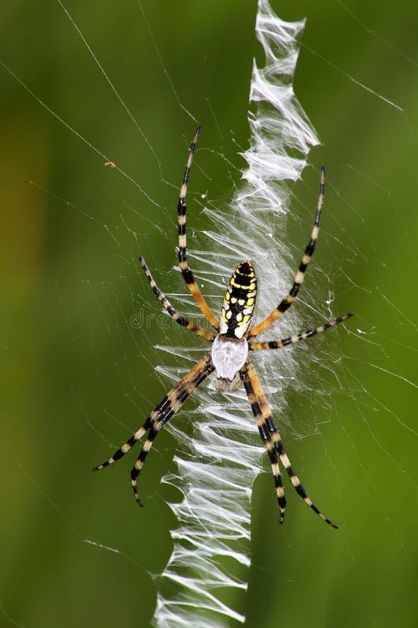 Duży pająk bananowy zdjęcie stock