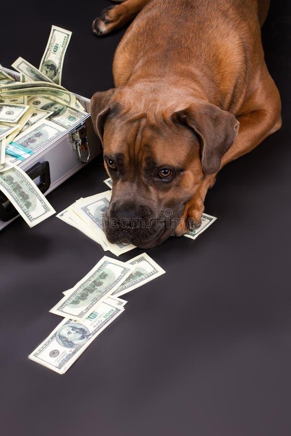 Duży pedigreed dyplomata z pieniądze i pies zdjęcie stock