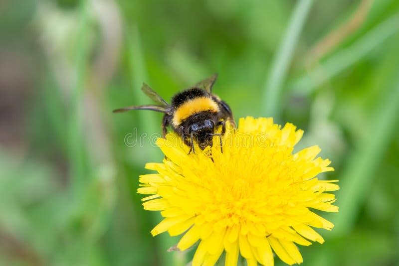 Duży piękny bumblebee z małym cwelichem wokoło swój szyi zbiera nektar od żółtego dandelion obrazy royalty free