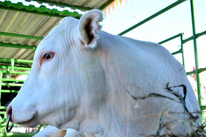 Duży piękny byk, kaganiec zamknięty w górę Gospodarstwo rolne, rolniczy biznes, tło, tekstura obraz stock