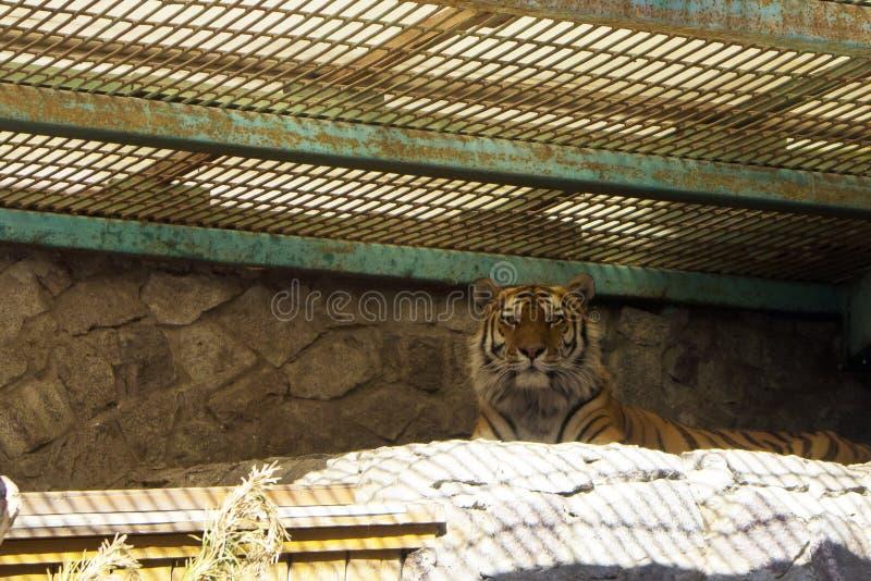 Duży piękny dorosły tygrysi lying on the beach w dużej klatce obrazy royalty free