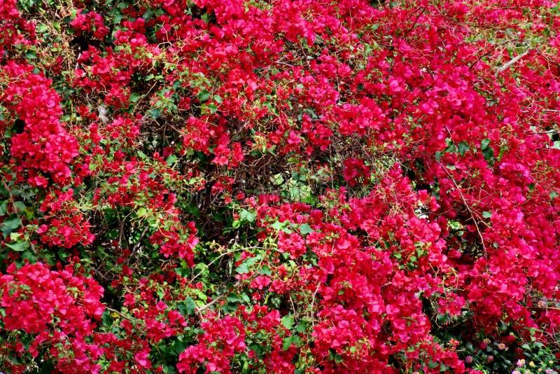 Duży piękny drzewo z wiele wiele menchiami kwitnie zdjęcia stock