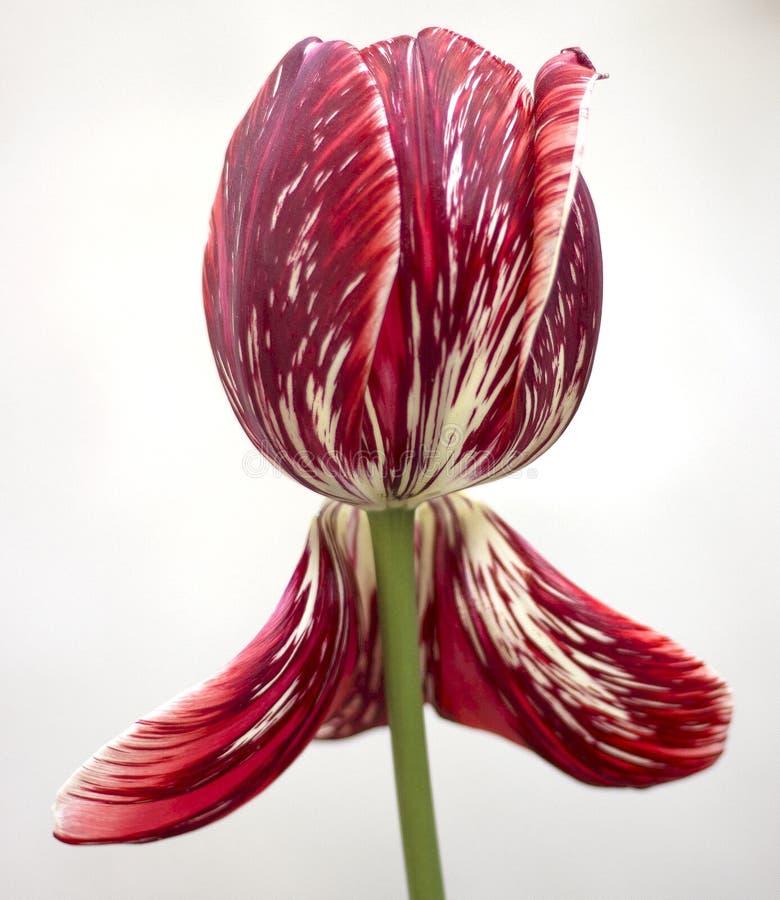 Duży piękny tulipan obrazy stock