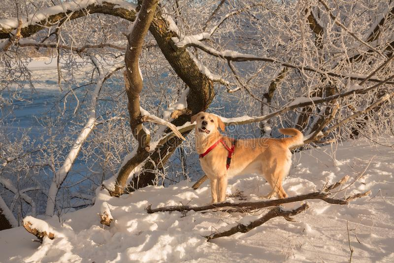 Duży pies, śnieg, mróz, golden retriever obraz royalty free