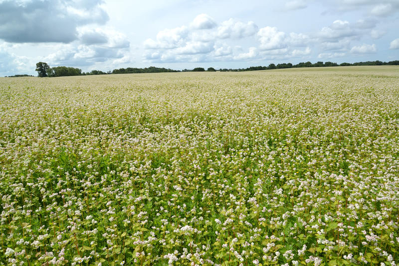 Duży pole kwitnie gryka LATO krajobraz zdjęcie stock