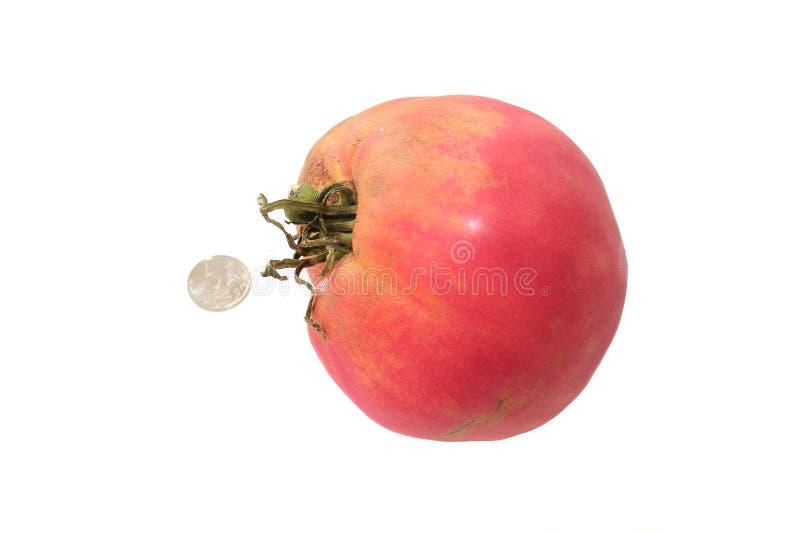 Duży pomidor na białym tle obraz stock