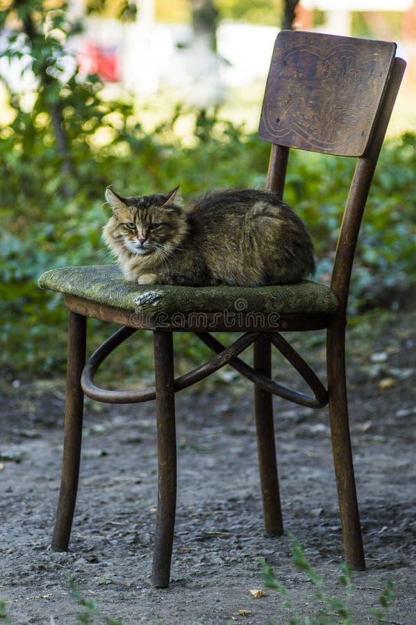 Duży poważny puszysty kot na starym krześle obraz stock