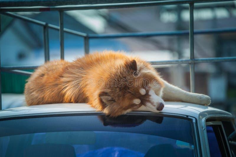 duży psi sen na dachu biały samochód obraz stock