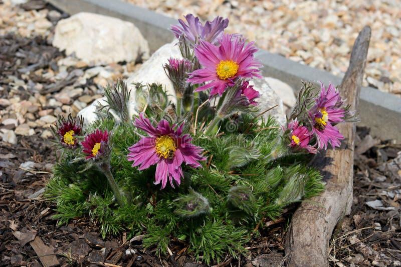 Duży purpurowy kwiatonośny pasque fotografia royalty free