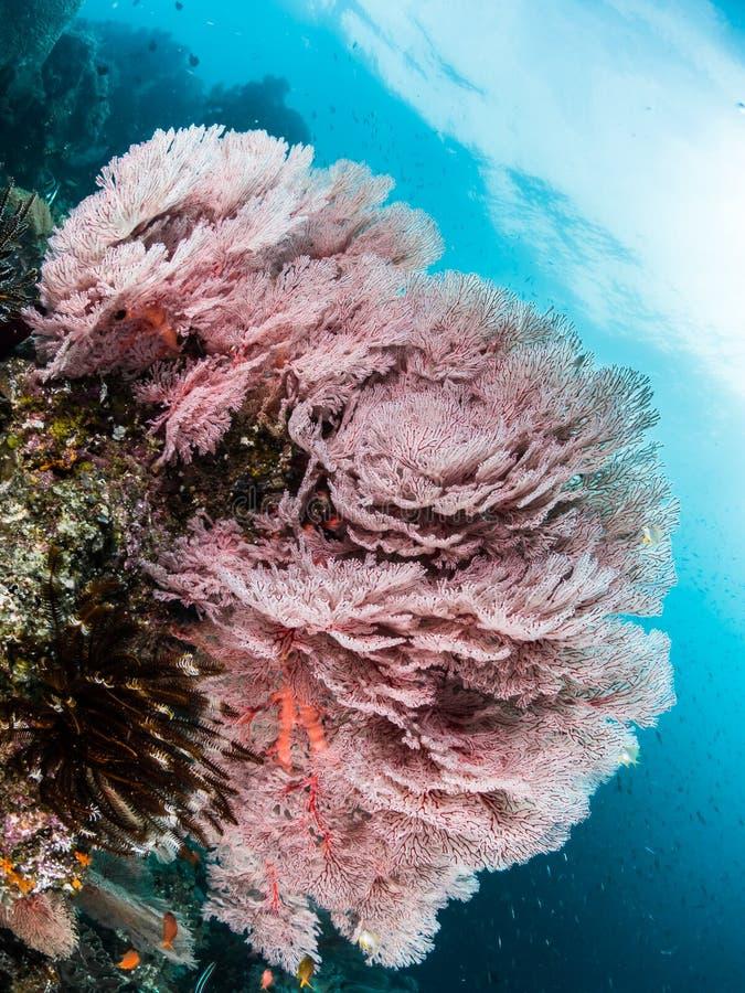 Duży Różowy Denny fan, Raja Ampat zdjęcie stock