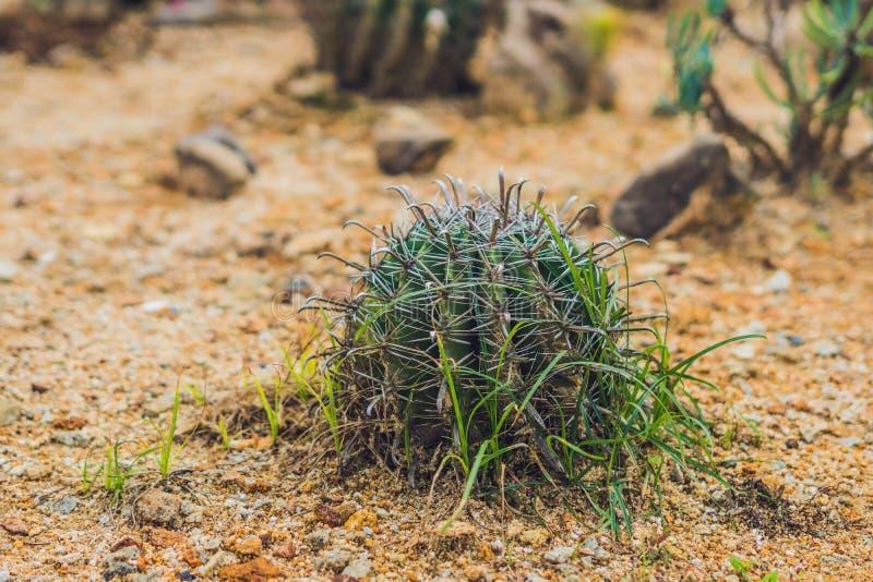 Duży round kaktus w tropikalnym parku obraz stock