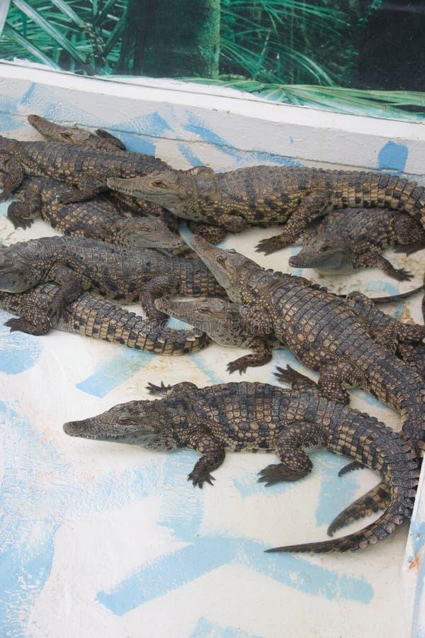 Duży rozsypisko krokodyle na Krokodyla gospodarstwie rolnym zdjęcie royalty free