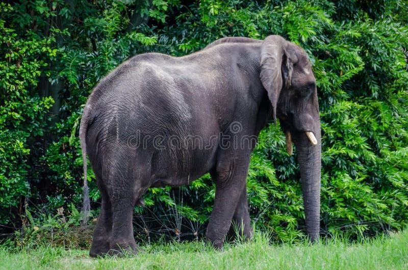 duży słoń afrykański obrazy stock