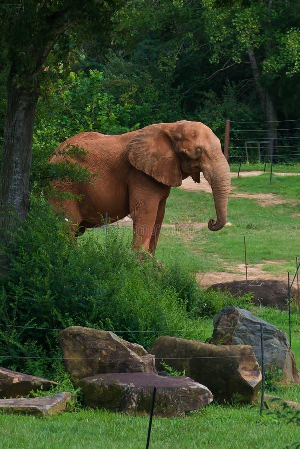 Duży słoń w lasowym tle zdjęcie royalty free