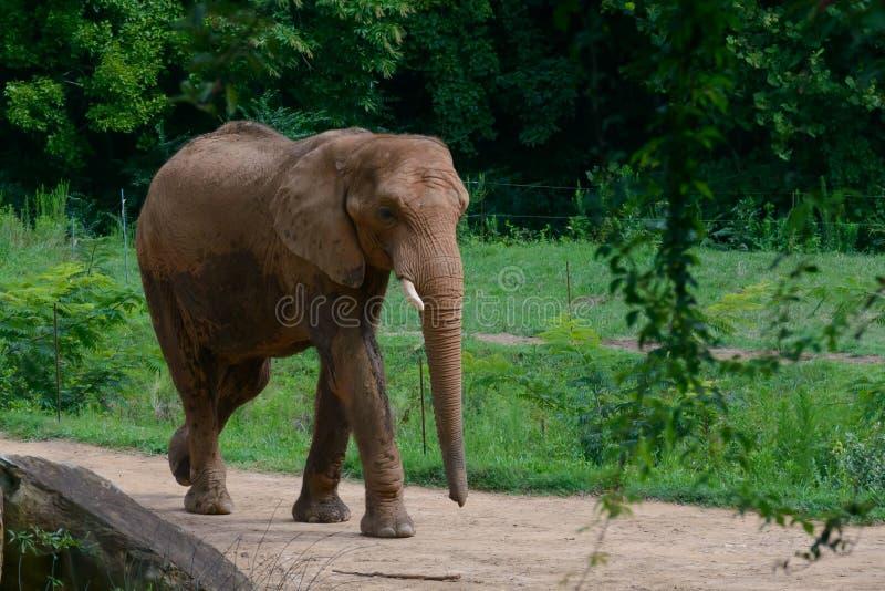 Duży słoń w lasowym tle fotografia stock
