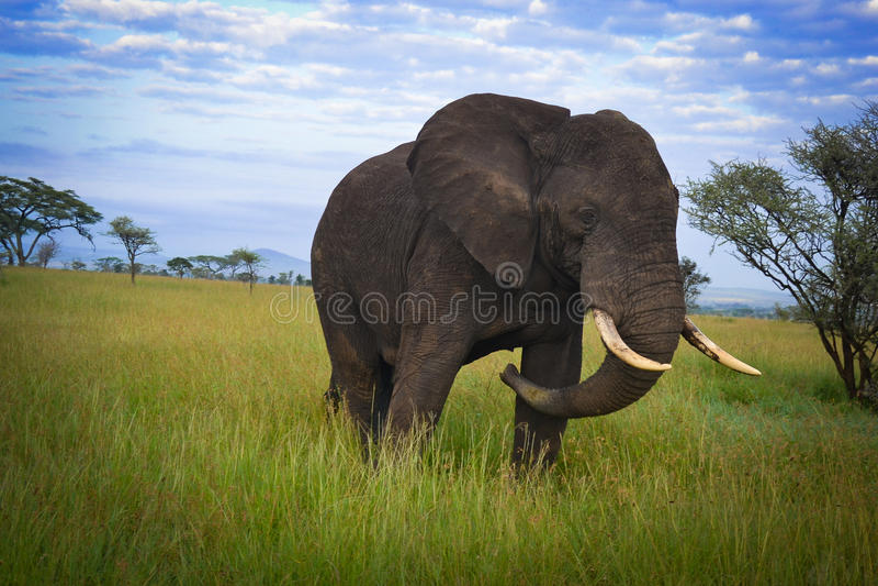 Duży słonia szturman, serengeti przygody safari serengeti obrazy royalty free