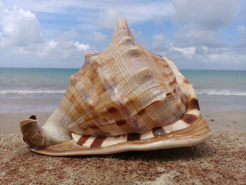 Duży seashell na drewnie morzem obraz royalty free