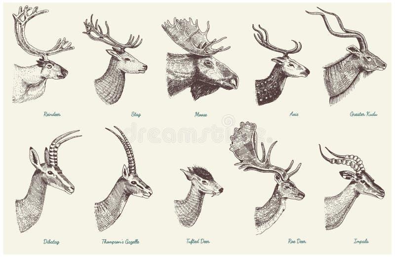 Duży set róg, poroże zwierzęta łosie amerykańscy lub łoś z, impala, gazela, kudu, ugoru rogacza renifer i jeleń, wielcy, królica royalty ilustracja