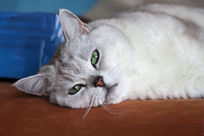 Duży srebny Brytyjski kot z inteligentnymi, pięknymi zielonymi oczami, zadumanymi, marzycielskimi, odpoczywa na leżance i attenti zdjęcia royalty free