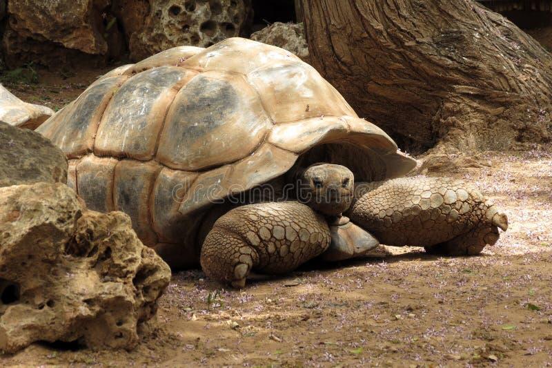 Duży stary żółw W safari Ramat Gan, Izrael fotografia royalty free