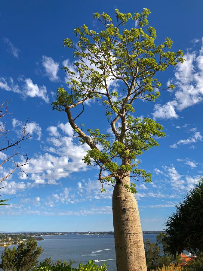 Duży stary baobab, Boab drzewo z Łabędzią rzeką w tle przy królewiątkami obrazy royalty free