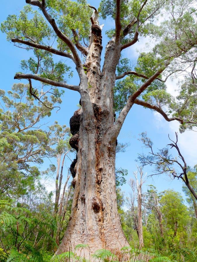 duży stary drzewo obraz royalty free