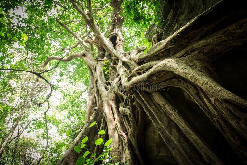 duży stary drzewo fotografia royalty free