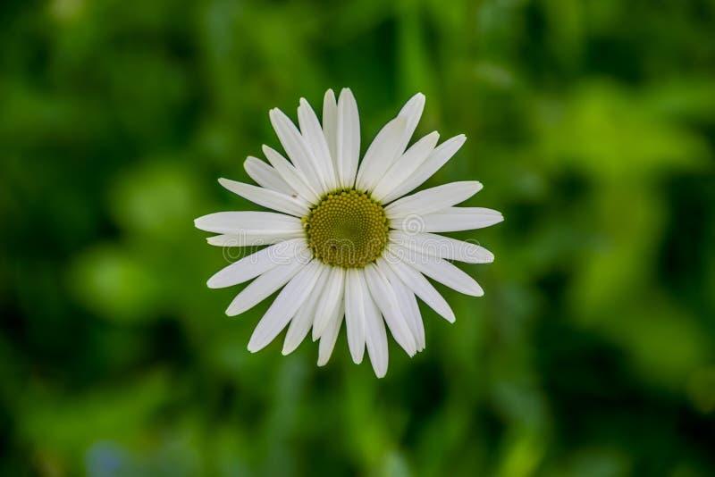 Duży stokrotka kwiat na zielonej trawie fotografia royalty free