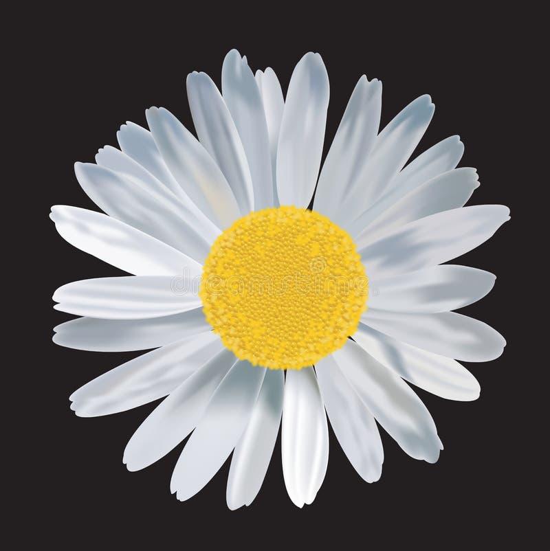 Duży stokrotka kwiat w czarnym tle ilustracji