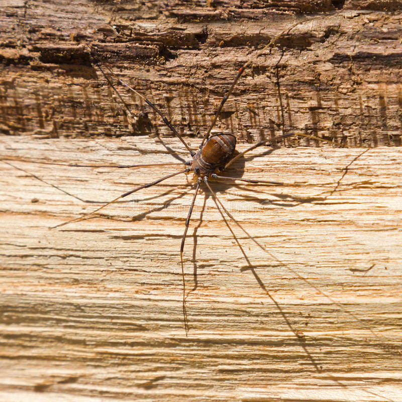 duży straszny pająk fotografia stock