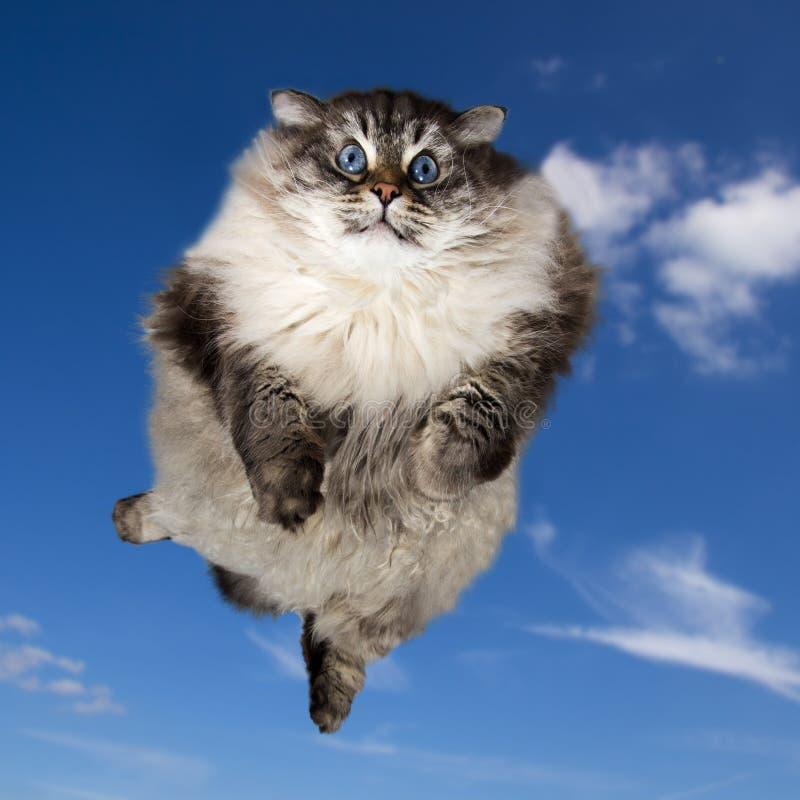 Duży Syberyjski domowego kota latanie obrazy royalty free