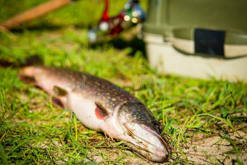 Duży szczupak na brzeg rzeki zdjęcie stock