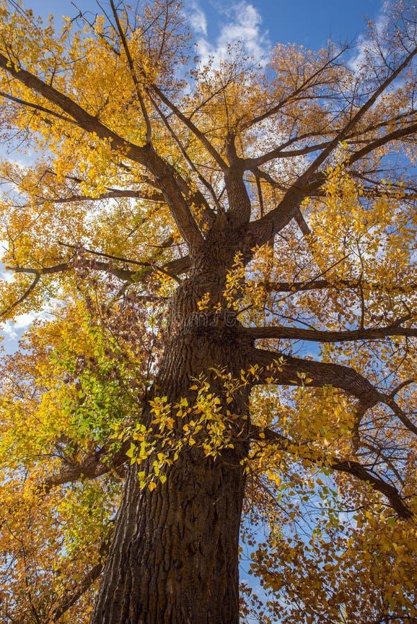 Duży topolowy drzewo zdjęcia stock