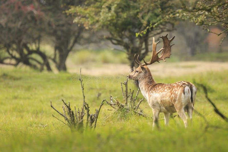 Duży ugoru rogacza jeleń chodzi dumnie w gre z wielkimi poroże zdjęcie stock