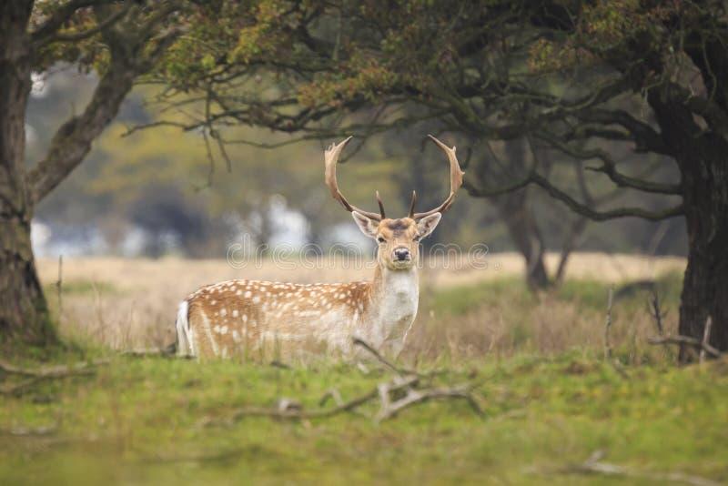 Duży ugoru rogacza jeleń chodzi dumnie w gre z wielkimi poroże zdjęcia royalty free