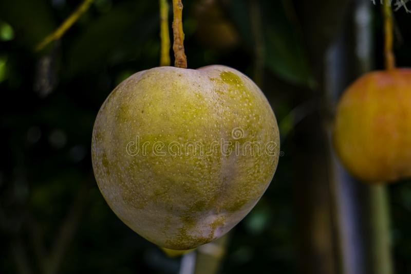 Duży Wielkościowy mango, Żółty mango, wiesza na drzewnym HD mango wizerunku zdjęcia royalty free