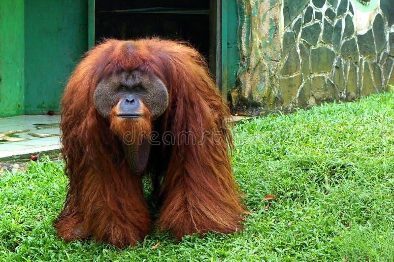 Duży wielkościowy orangutan gapi się widownia przy zoo zdjęcie stock