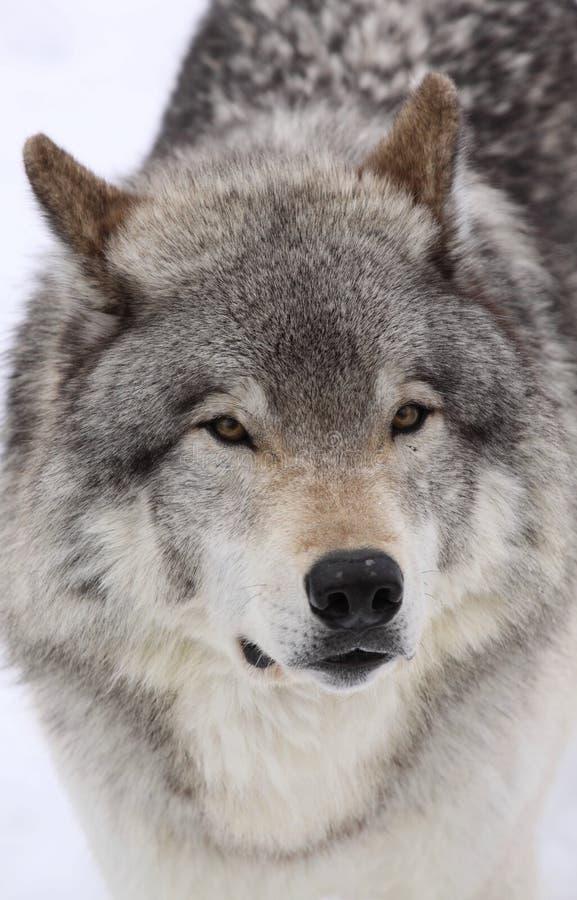 duży wilk obrazy royalty free
