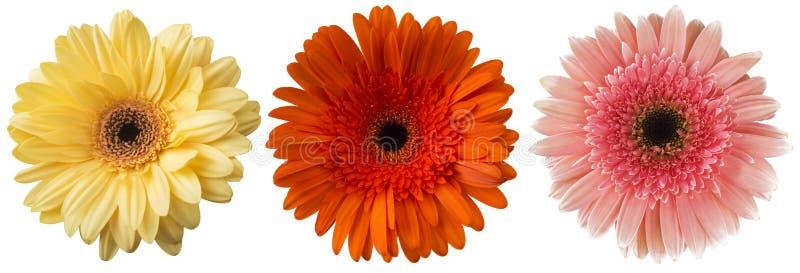 Duży wybór Kolorowy Gerbera kwiatu Gerbera jamesonii Odizolowywający na Białym tle zdjęcie stock